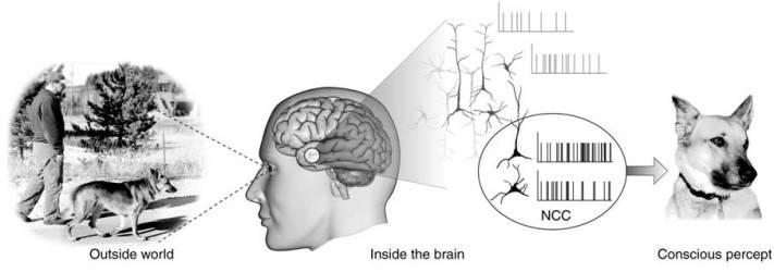 Neural_Correlates_Of_Consciousness.jpg