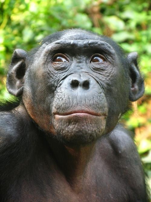 female bonobo c338fc8d7f2e0c3029fc521fbca9fac8.jpg