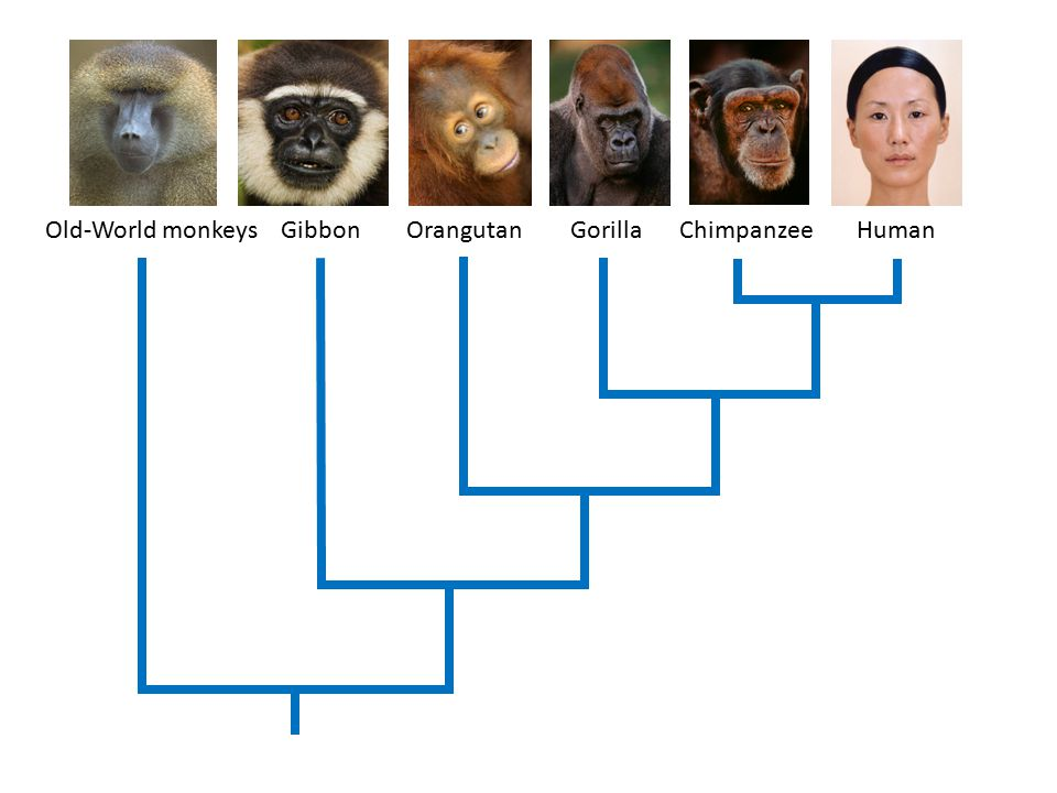Old-World+monkeys+Gibbon+Orangutan+Gorilla+Chimpanzee+Human.jpg